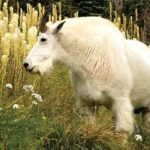 glacier park women's retreat mountain goat